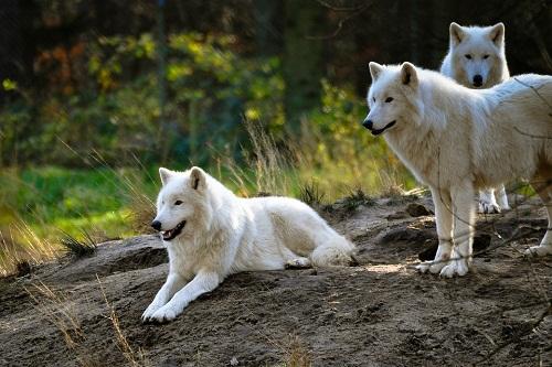 К чему снится вой волков: значение сна, самое полное толкование сновидений по соннику