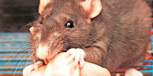 К чему снится белая крыса, сонник, толкование снов онлайн