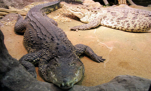 К чему снятся женщине крокодилы: девушке, замужней, беременной – толкование по разным сонникам