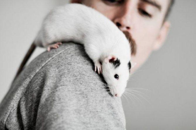 К чему снятся крысы во сне женщине, особенно если их много?