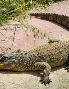 К чему снится крокодил в мутной воде