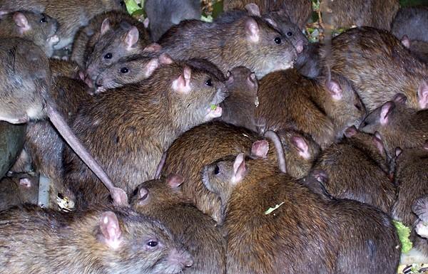 Сонник к чему сниться дохлая крыса. к чему снится к чему сниться дохлая крыса видеть во сне - сонник дома солнца. страница 11