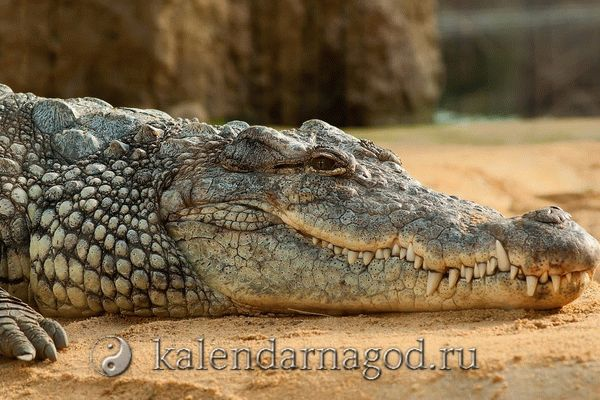 К чему снится крокодил: женщине, мужчине, крокодилы во сне в воде.