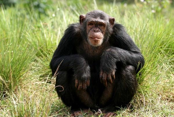 К чему снится обезьяна во сне для женщины