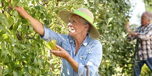К чему снятся такие фрукты, как груши? какие события могут вас ожидать, подскажет сонник.