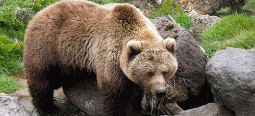Сонник о медведе: к чему снится белый медведь женщине, к чему снится черный медведь женщине