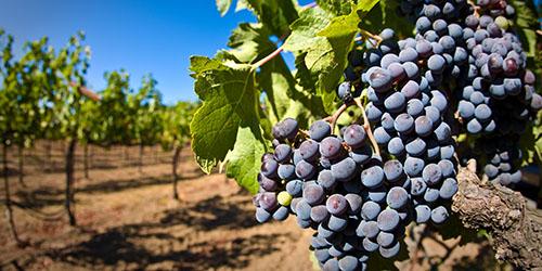 Сонник виноград свежий. к чему снится виноград свежий видеть во сне - сонник дома солнца