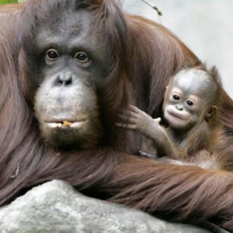 Сонник обезьяна. к чему снится обезьяна во сне женщине и мужчине