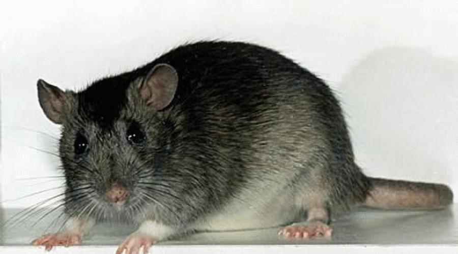 Сонник крыса белая и серая. к чему снится крыса белая и серая видеть во сне - сонник дома солнца