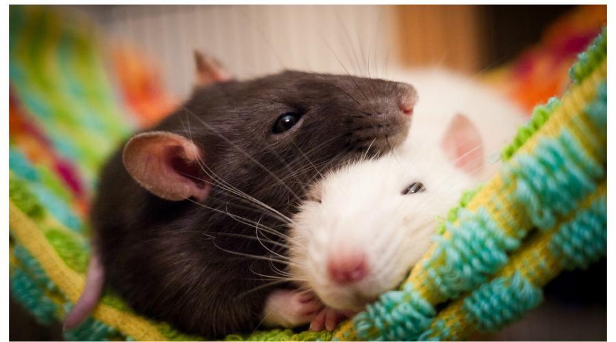 Одна мышь