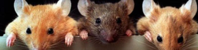 Сонник белая и черная мышь. к чему снится белая и черная мышь видеть во сне - сонник дома солнца