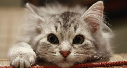 Сонник большой серый кот. к чему снится большой серый кот видеть во сне - сонник дома солнца