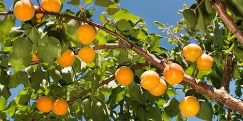 К чему снится абрикос во сне — по 90 сонникам! если видишь во сне абрикос что значит?