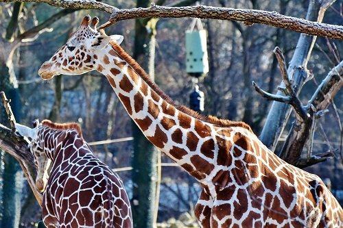 Сонник рождение жирафа. к чему снится рождение жирафа видеть во сне - сонник дома солнца