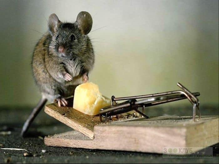 Мышь мышонок