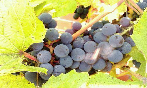 Сонник виноград доме. к чему снится виноград доме видеть во сне - сонник дома солнца