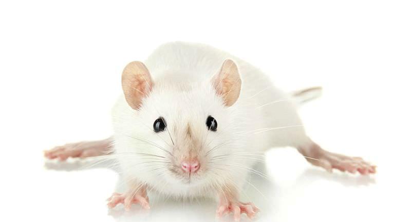 Сонник наступить на мышь. к чему снится наступить на мышь видеть во сне - сонник дома солнца