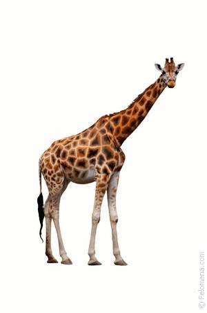 К чему снится жираф. видеть во сне жираф - сонник дома солнца