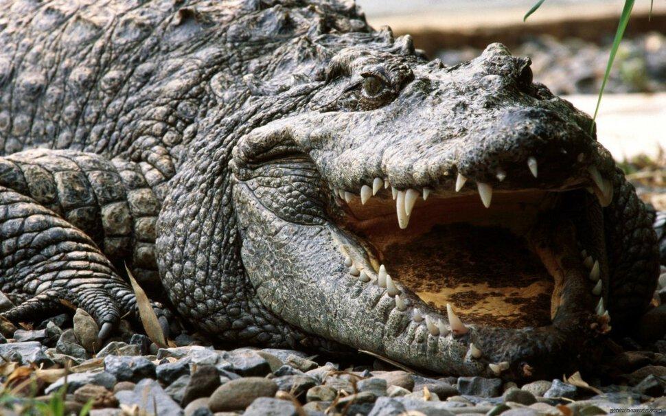 Сонник снятся крокодилы. к чему снится снятся крокодилы видеть во сне - сонник дома солнца