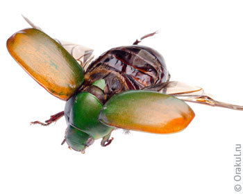 Жуки личинки