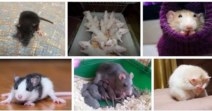 К чему снится крыса — значение сна по сонникам
