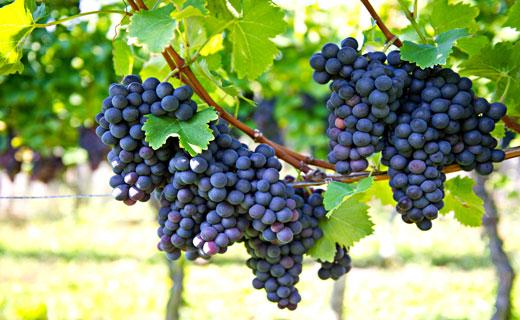 Виноград собирать