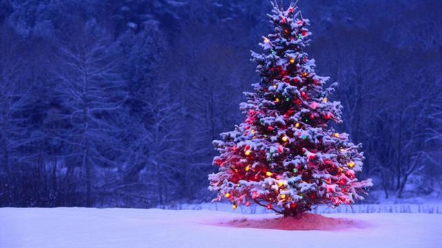 Ель елка сосна