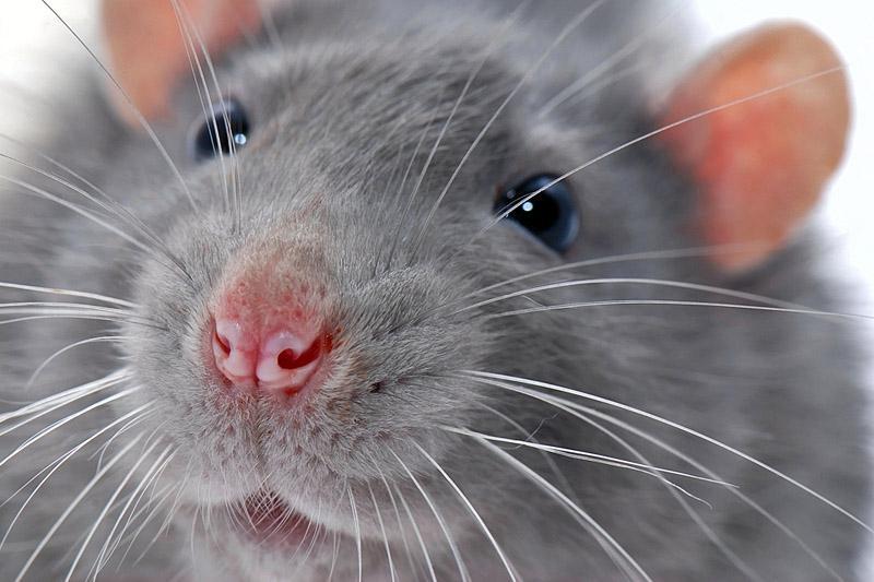 К чему снится мышь?