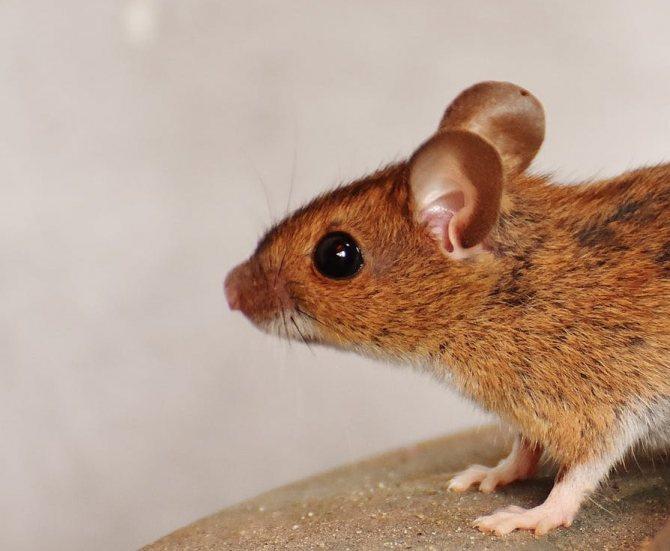 «крыса к чему снится во сне? если видишь во сне крыса, что значит?»