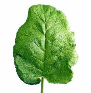 Лист лопуха - средство от многих проблем со здоровьем