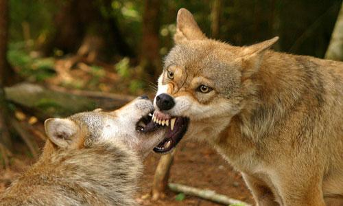 К чему приснилась стая волков – толкование для женщие, мужчин