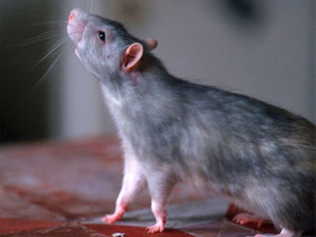 К чему снится дохлая крыса: толкования по соннику