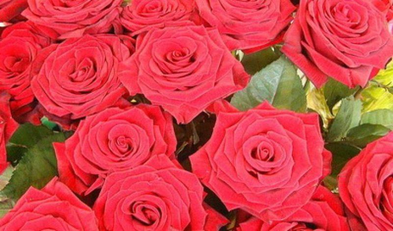 Куст желтых роз