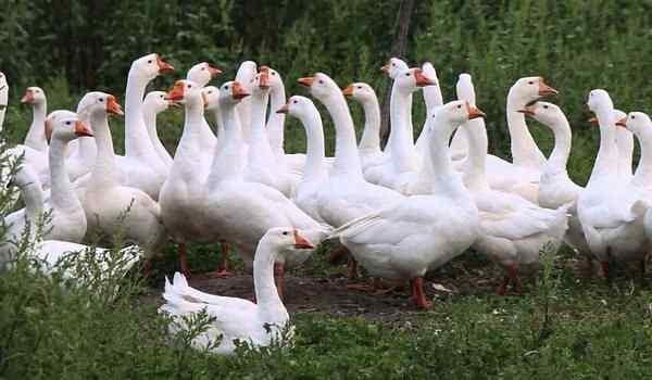Сонник поймать белого гуся. к чему снится поймать белого гуся видеть во сне - сонник дома солнца