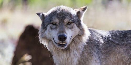 К чему снится волк во сне для женщины