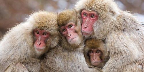 Сонник обезьяна. к чему снится обезьяна во сне?