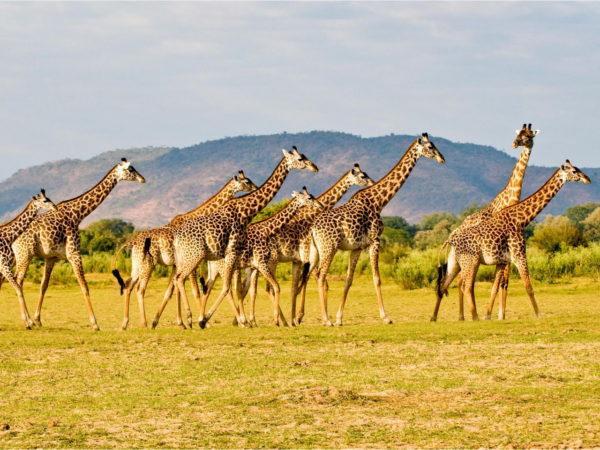 К чему снится жираф? сонник - жираф приснился во сне и что означает?