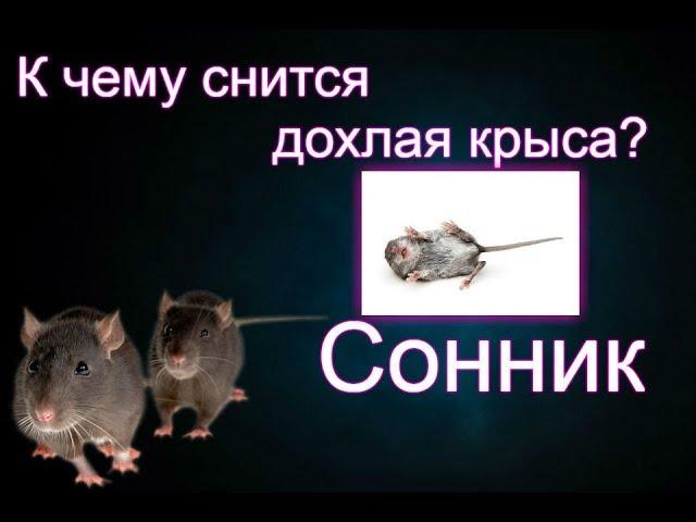 Сонник крыса  к чему снится крыса во сне женщине