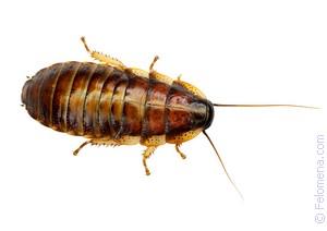 Жуки тараканы личинки