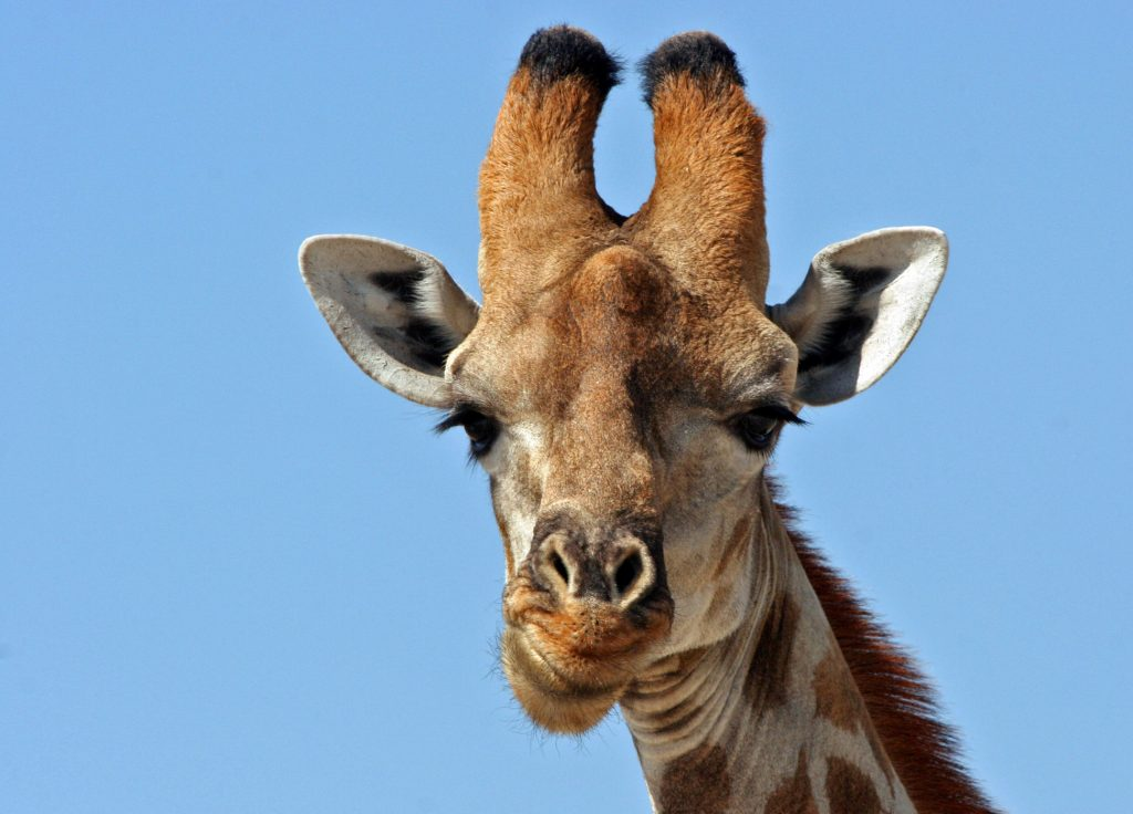 К чему снится жираф: девушке, женщине, беременной, мужчине – толкование по разным сонникам
