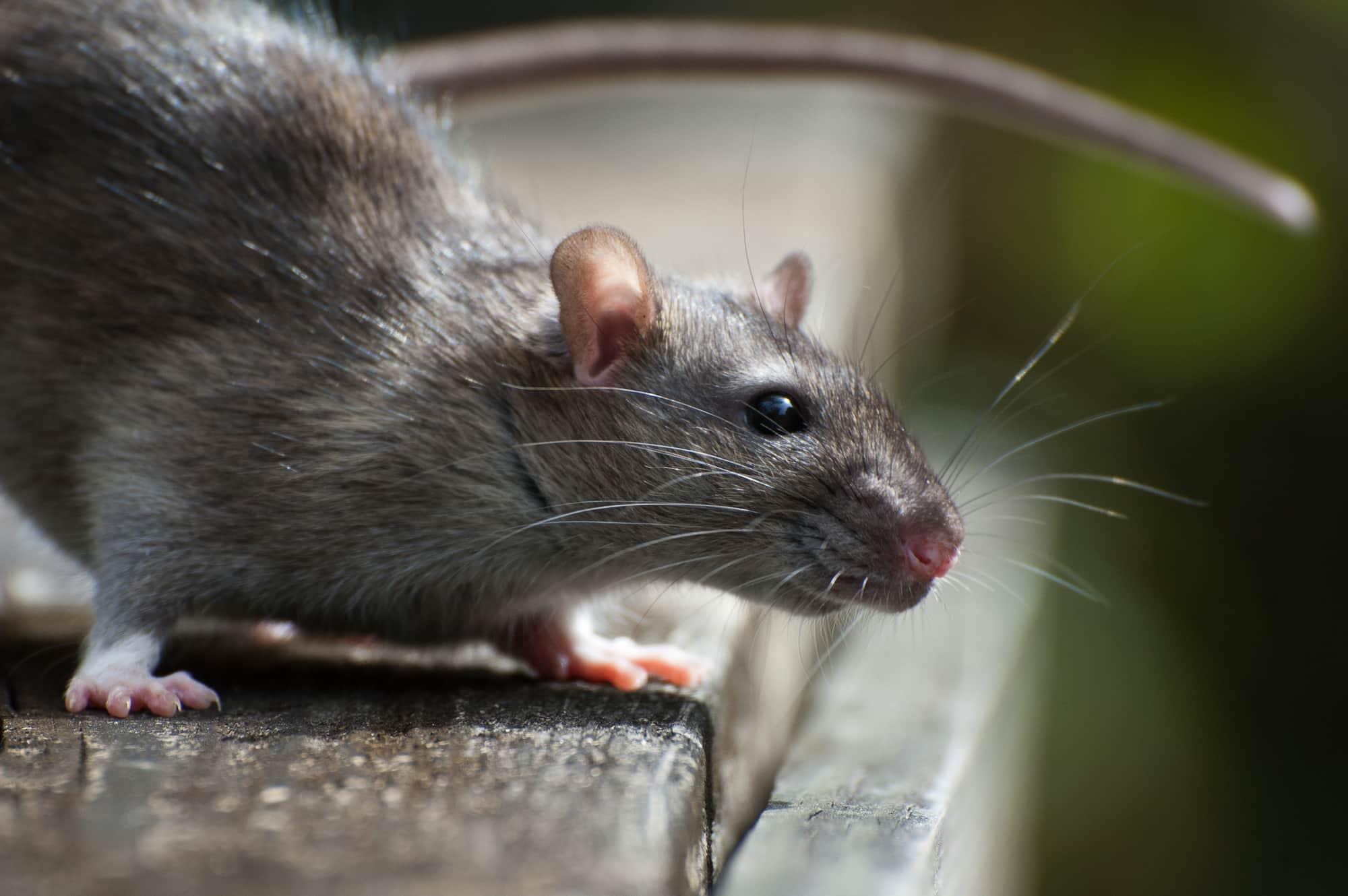 К чему снится крыса – объяснение значения сна