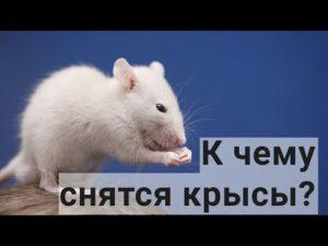 Крыса черно белая