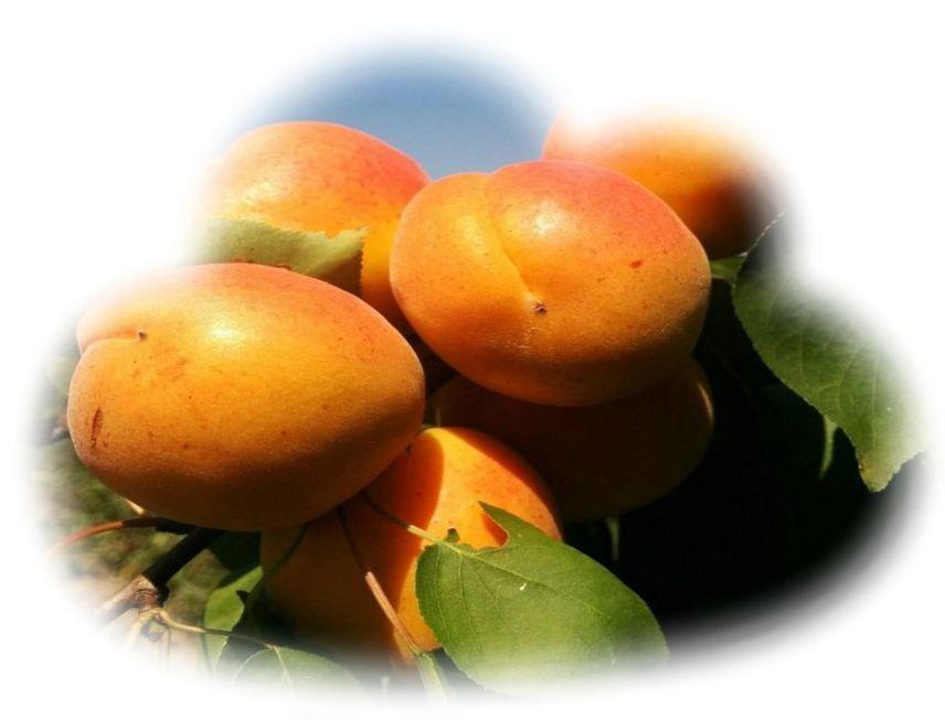 Фрукты абрикос