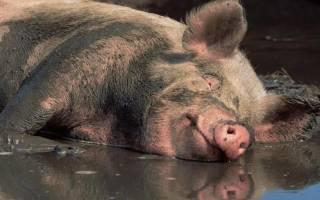 «свинья к чему снится во сне? если видишь во сне свинья, что значит?»