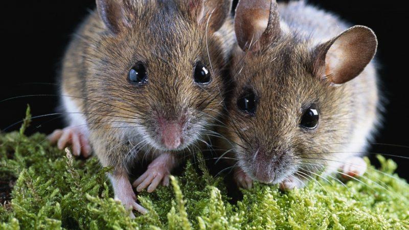 Мертвые крысы во сне: много полудохлых крыс во сне, объяснение для женщины и девушки