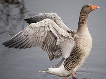 Поймать белого гуся