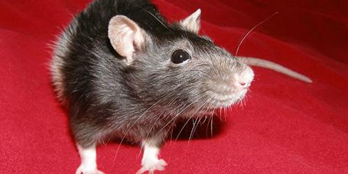 К чему снится крыса – объяснение значения сна :: инфониак