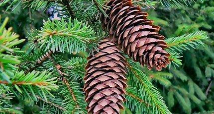 К чему снятся елки? толкование снов