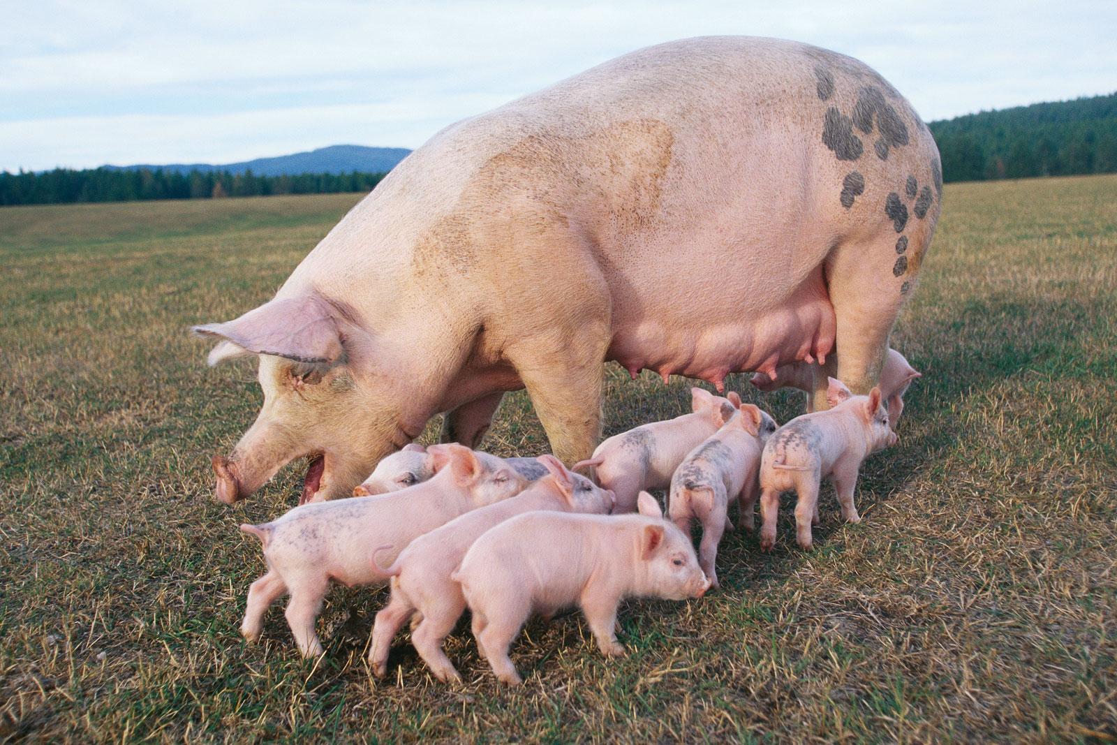 К чему снятся свиньи? толкование сна со свиньей по разным сонникам