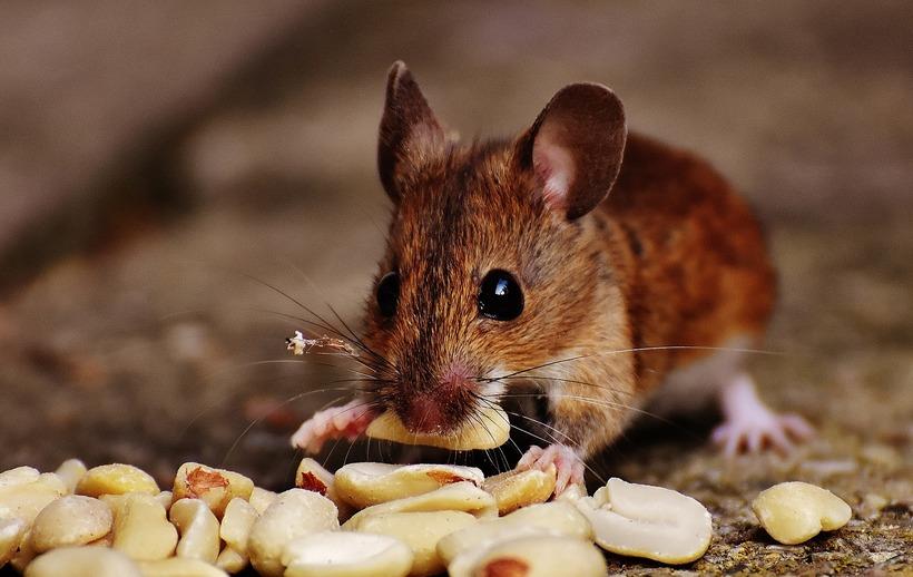 К чему снится крыса — толкование сна по сонникам